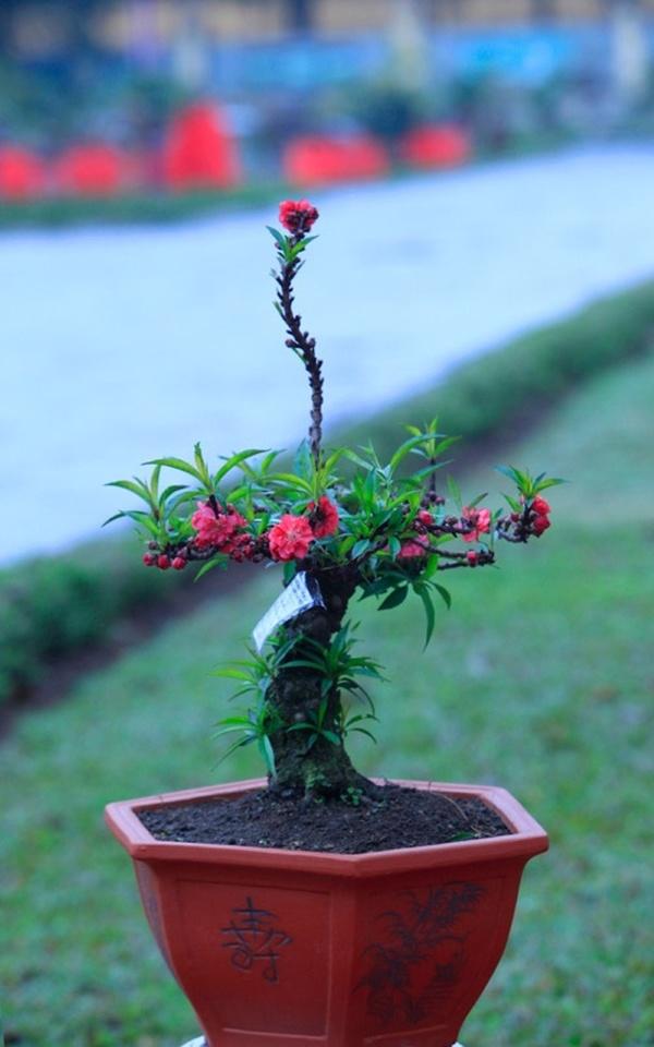 Đào tết bonsai
