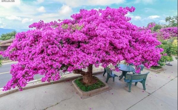 Hoa giấy cây cảnh tết